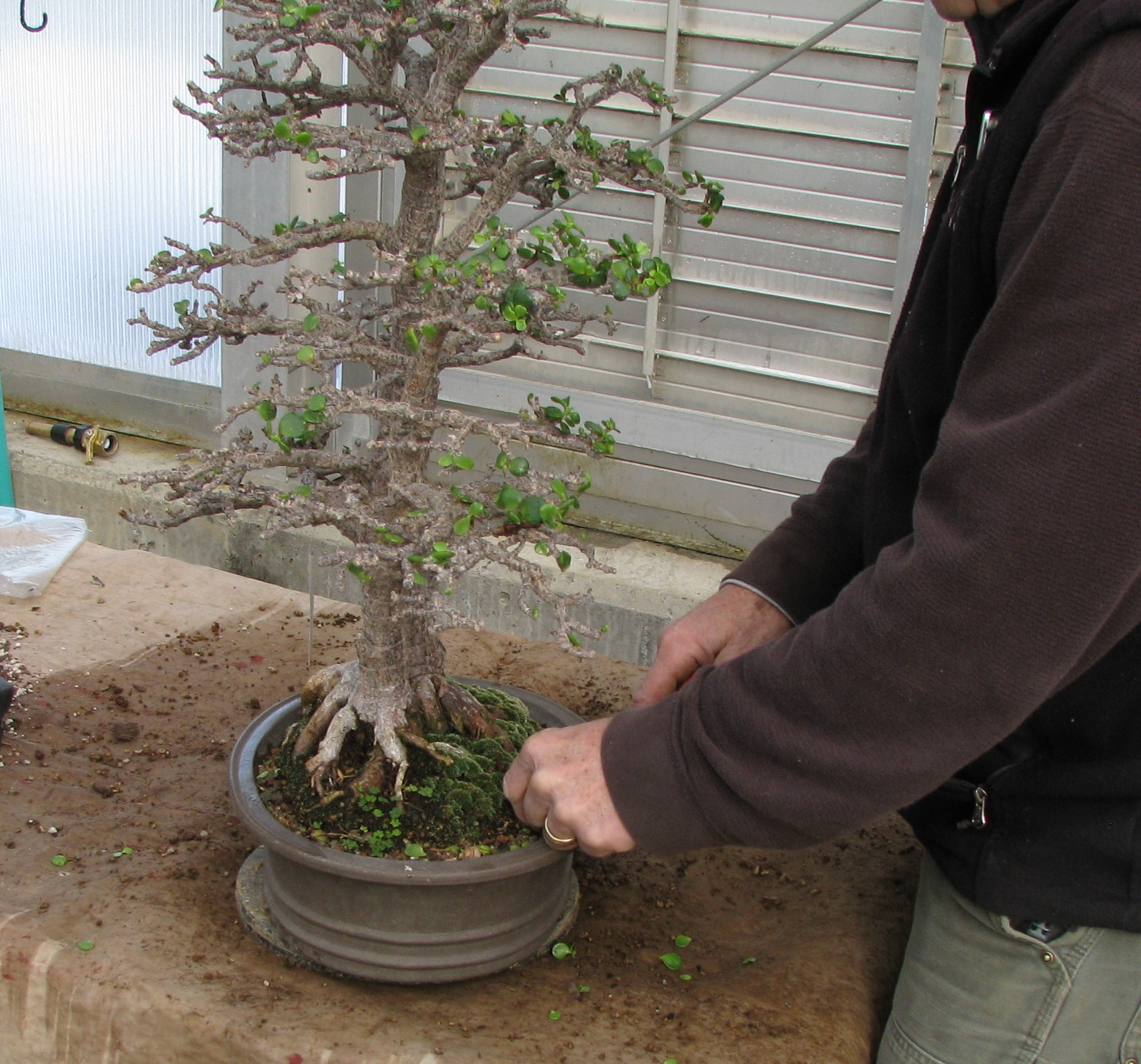 Jade Portulacaria Bonsai Colorado