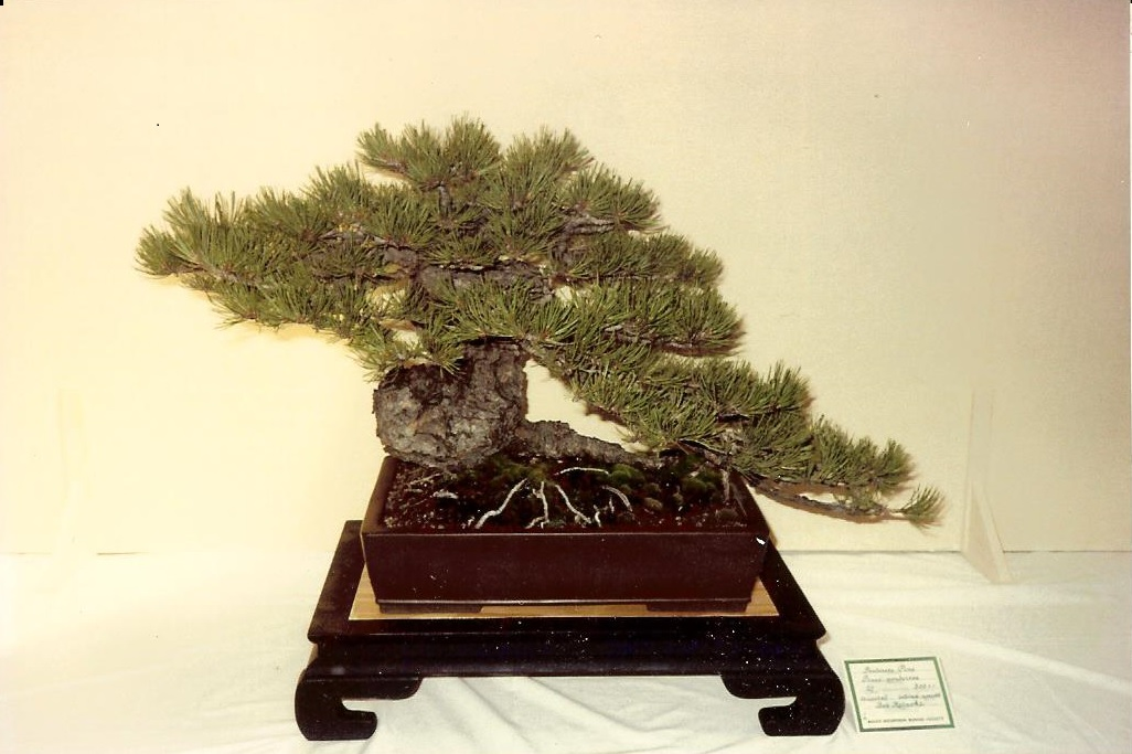 Pinus Ponderosa Pine Bonsai Colorado Rocky Mountain Bonsai Suiseki