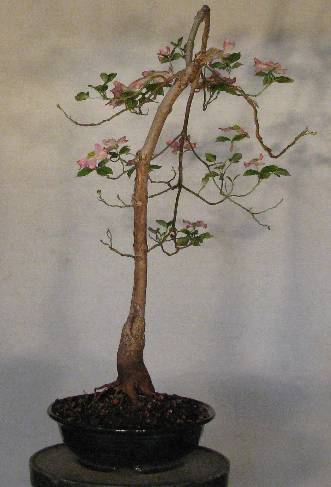 Cornus Florida Cherokee Chief Colorado Rocky Mountain Bonsai Suiseki