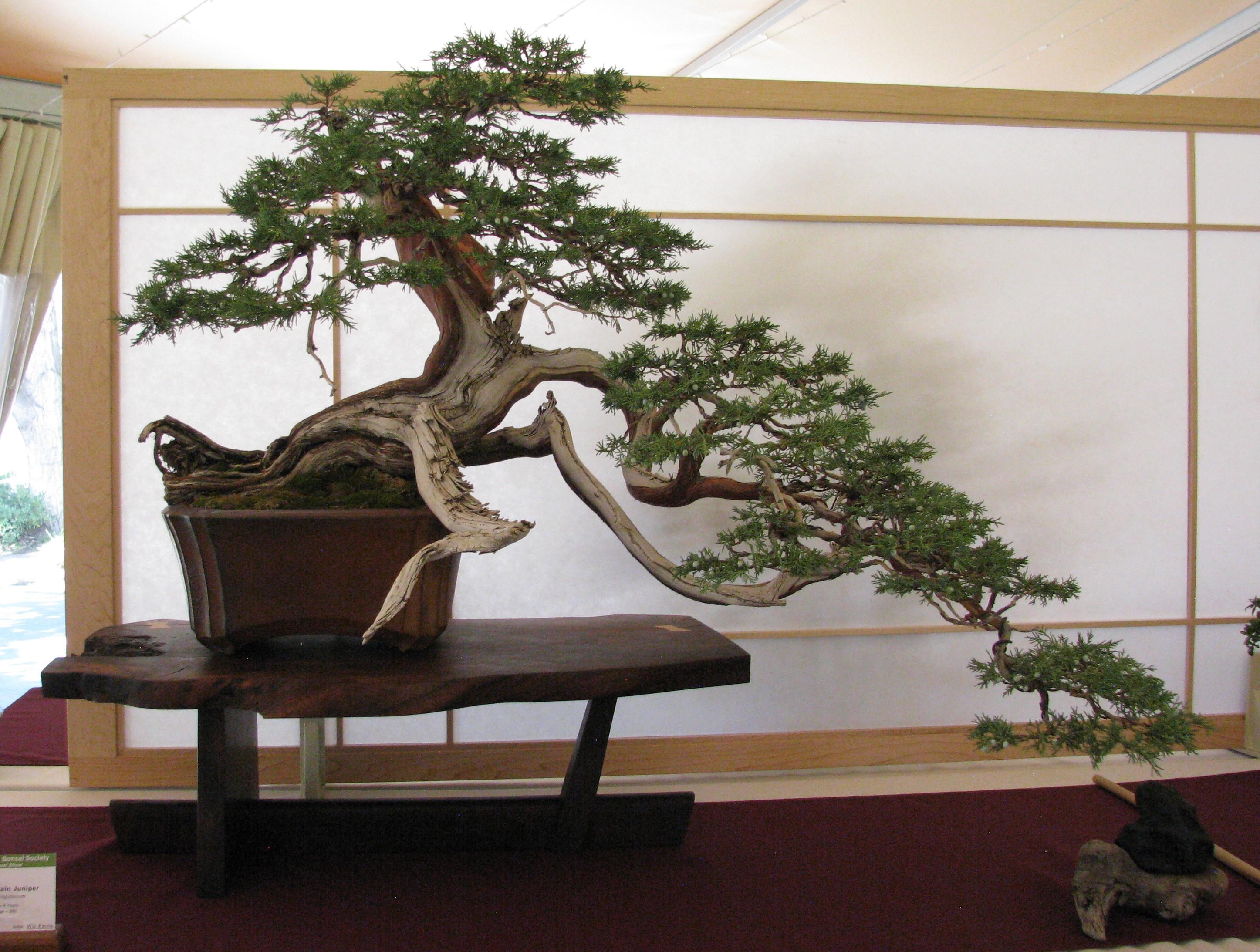 Junipers Bonsai Colorado Rocky Mountain Suiseki Wiring Yew 2018 Juniperus Scopulorum Juniper