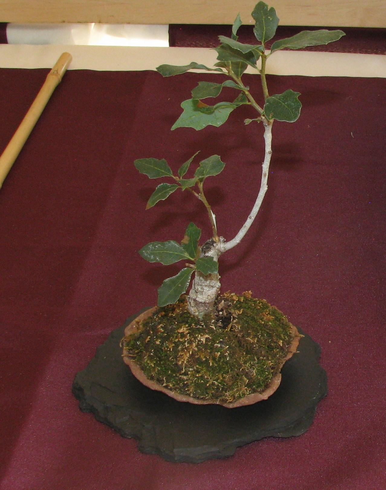 2019 Rocky Mountain Bonsai Society Accent Plants Colorado Rocky Mountain Bonsai Suiseki