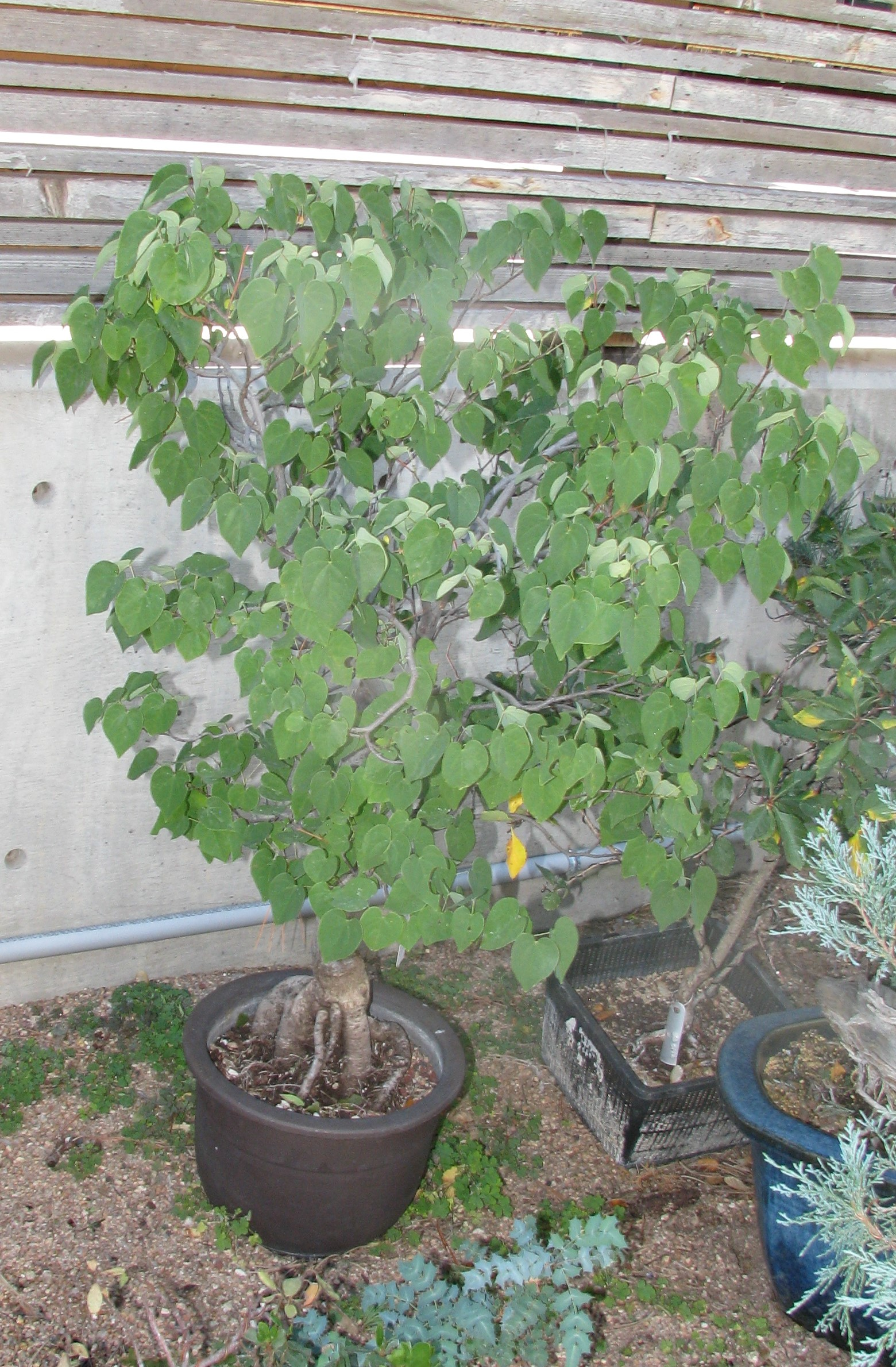 Cercis Canadensis Redbud Bonsai Ace Of Hearts Colorado Rocky Mountain Bonsai Suiseki
