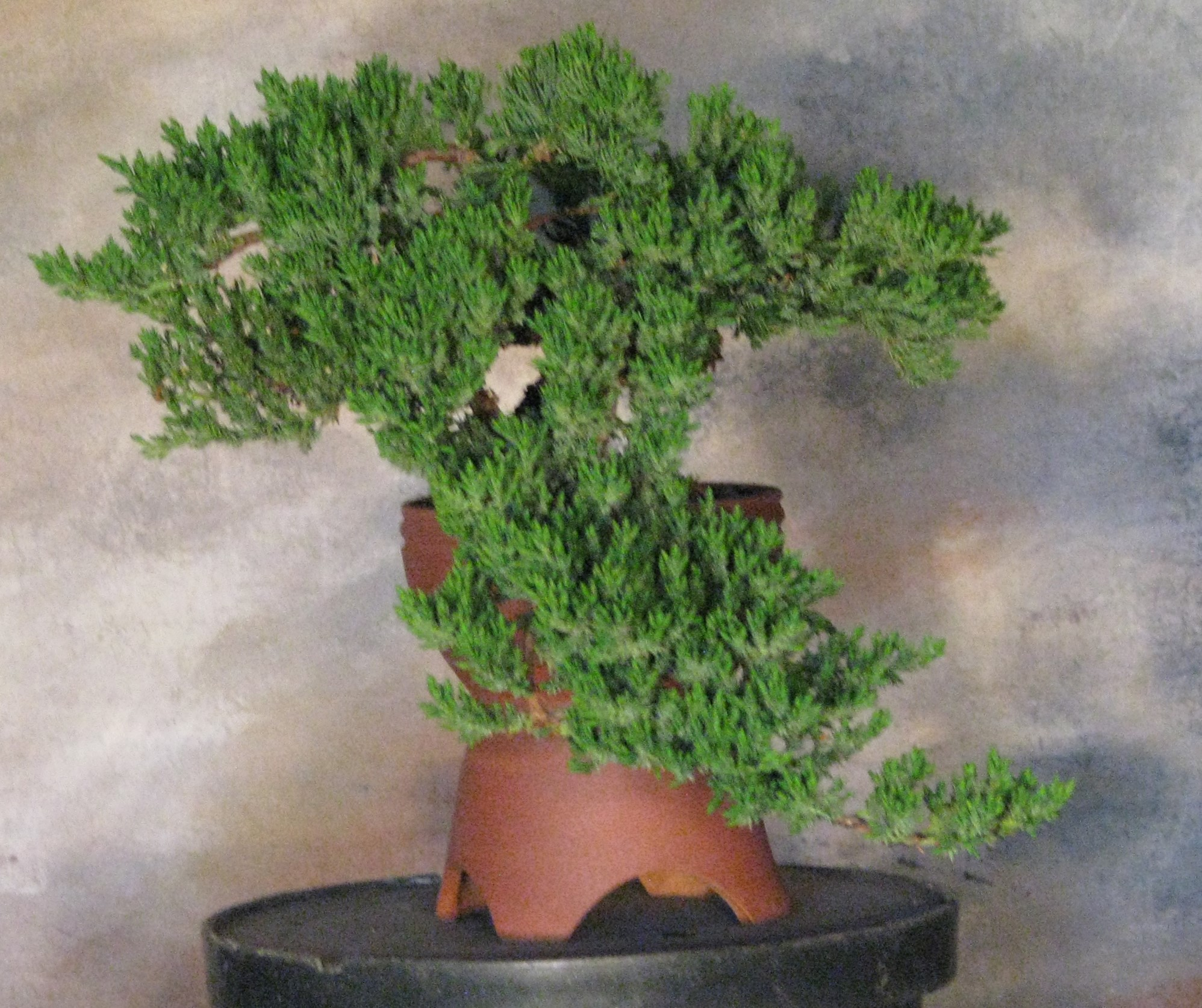 Procumbens Nana Bonsai 1 Colorado Rocky Mountain Bonsai Suiseki
