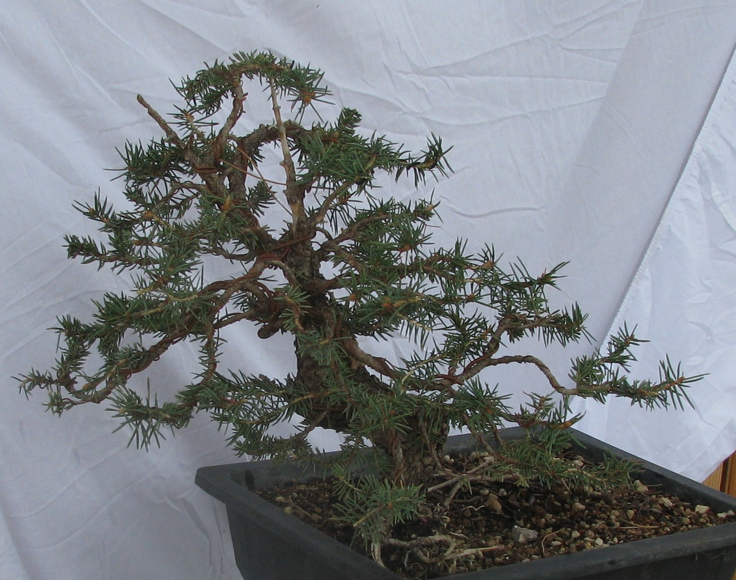 Picea Pungens Colorado Blue Spruce Bonsai Colorado Rocky Mountain Bonsai Suiseki