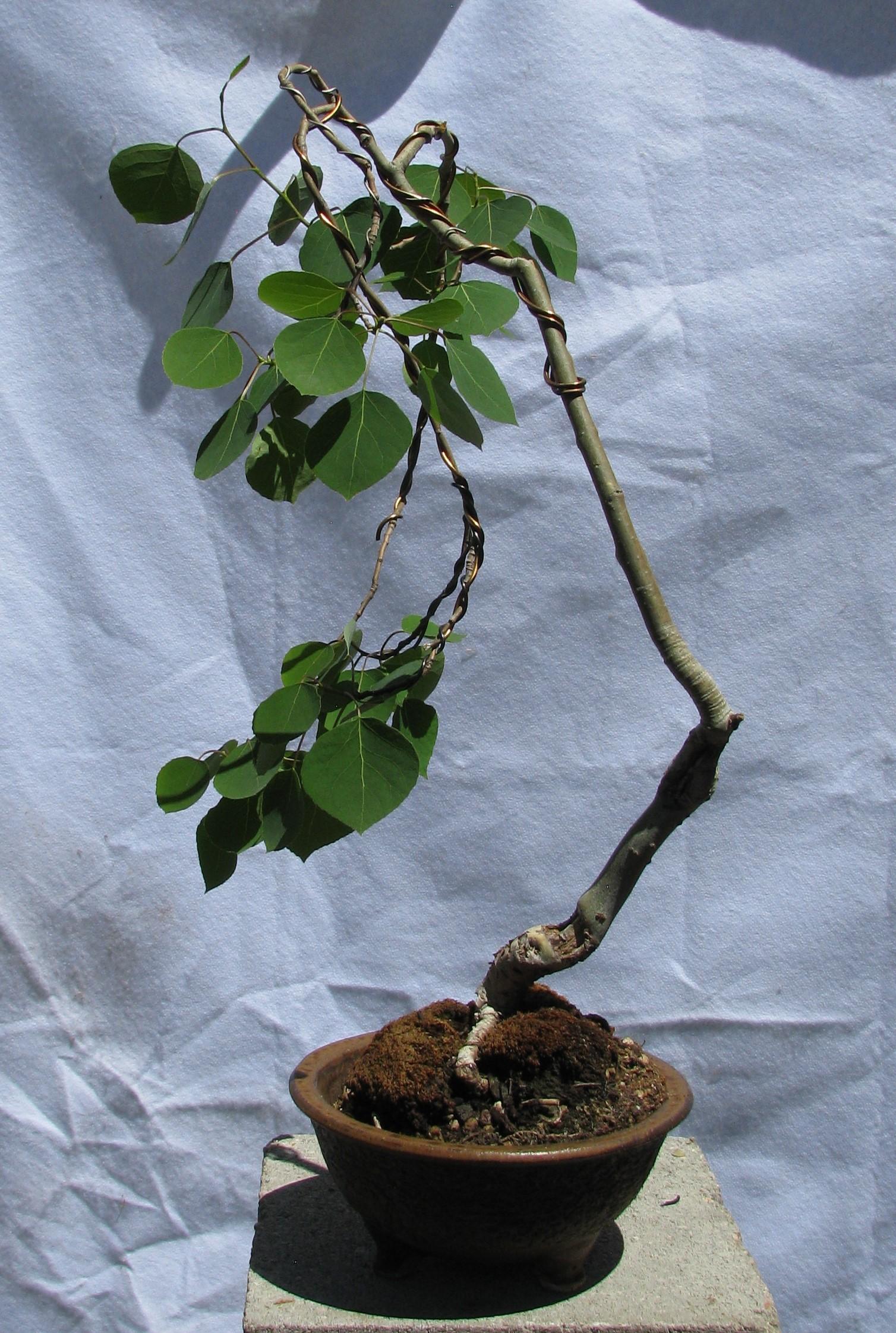 Populus Tremuloides Aspen Colorado Rocky Mountain Bonsai Suiseki