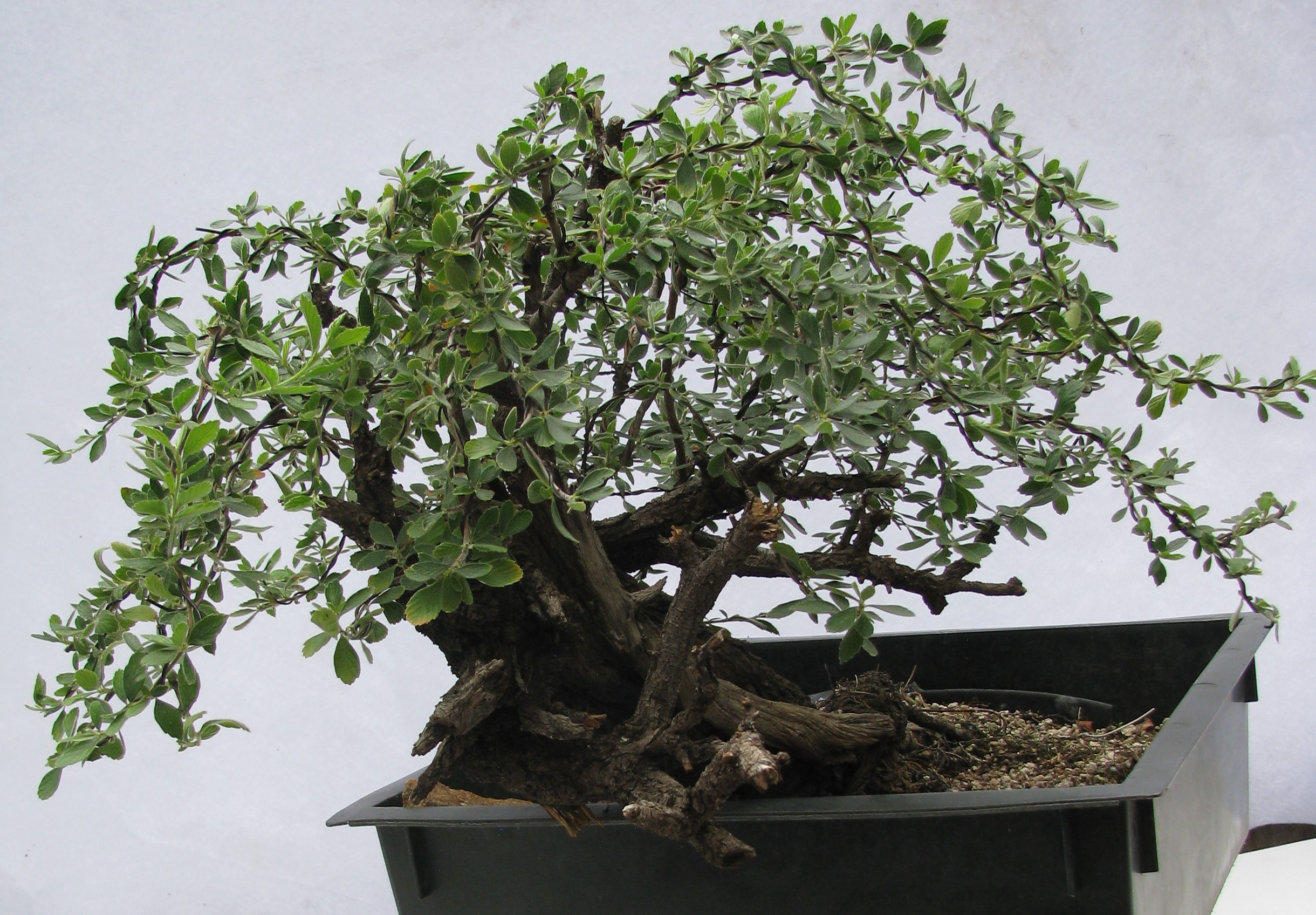 Colorado Bonsai Mountain Mahogany Cercocarpus Breviflorus Gray Var Breviflorus Bonsai 5 Colorado Rocky Mountain Bonsai Suiseki