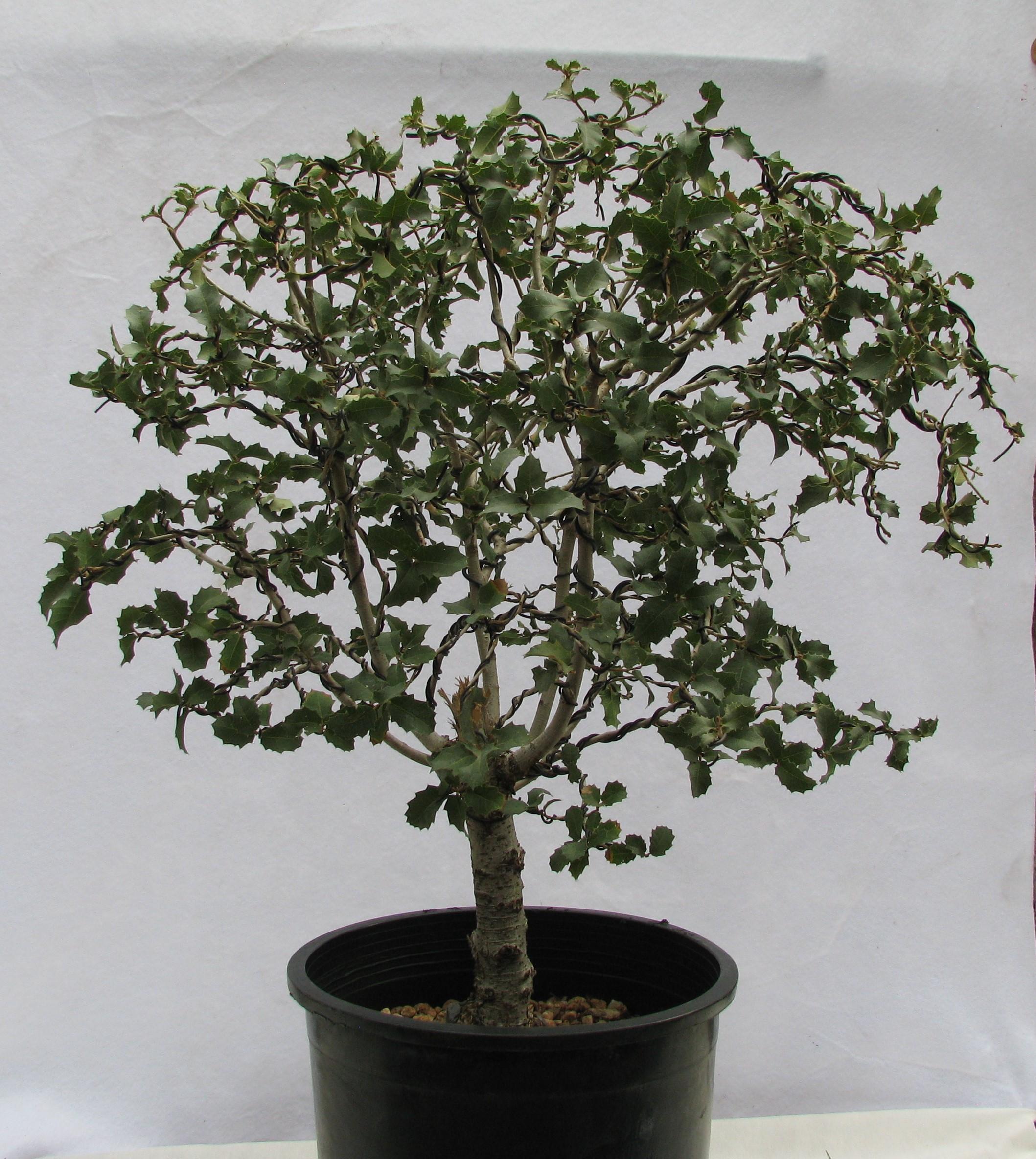 Quercus Ilex Bonsai Colorado Rocky Mountain Bonsai Suiseki