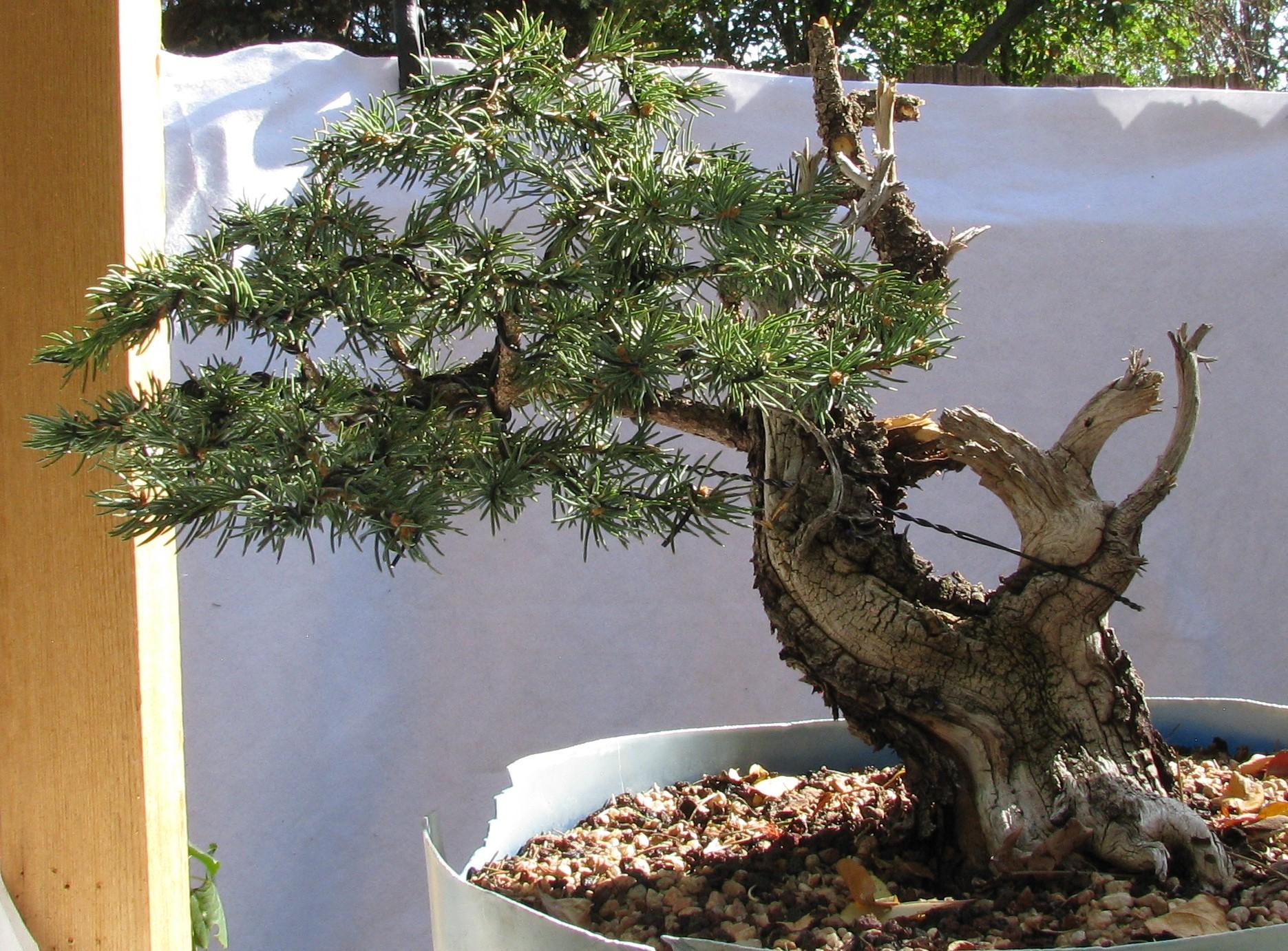 Picea Pungens Colorado Blue Spruce Bonsai 2 Colorado Rocky Mountain Bonsai Suiseki